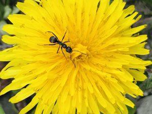 タンポポの花にいるアリ