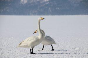 雪上の白鳥