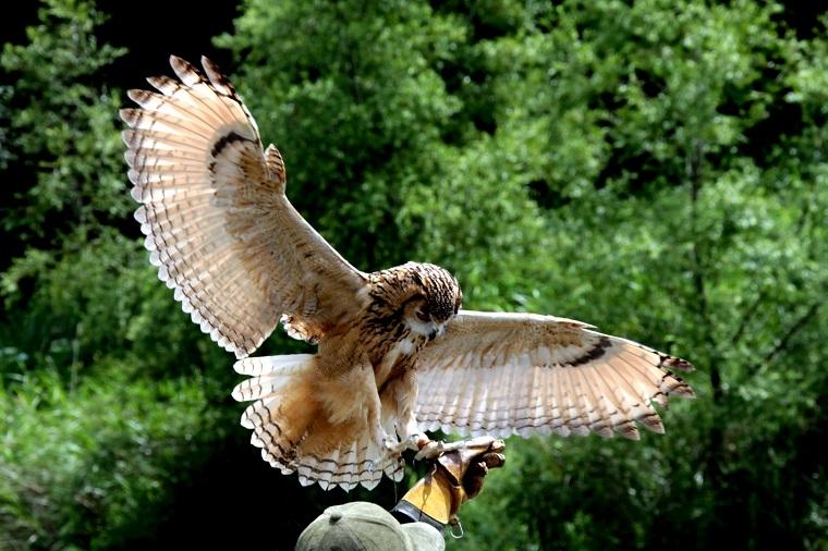 フクロウの羽ばたき