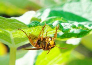 葉の裏側のキイロスズメバチ