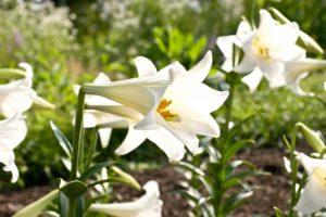 テッポウユリの花