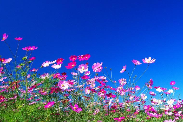 咲き誇るコスモスの花