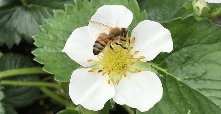 ポリネータのハチ