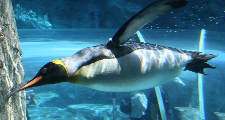 水中のペンギン