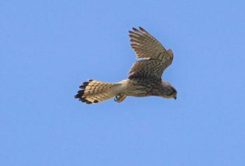 ハヤブサの飛行写真
