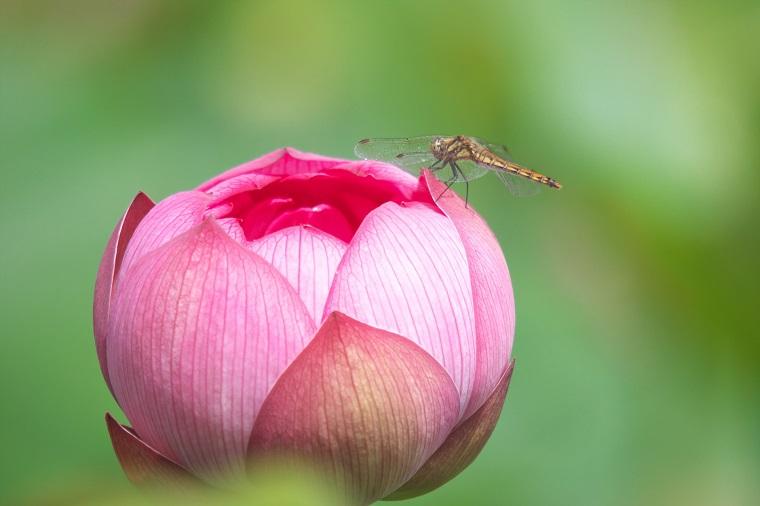 ハスの花に止まったトンボ