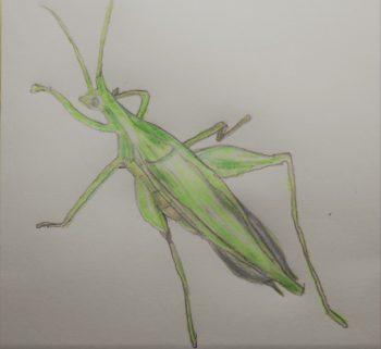 カンタンという虫の絵