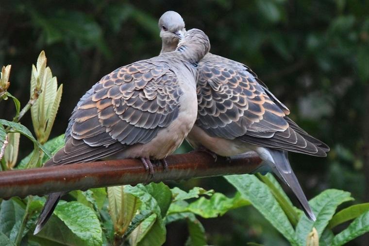 ハトのカップル