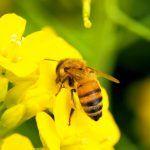 蜜をとるミツバチ