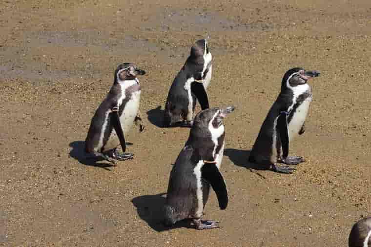 立っているペンギン
