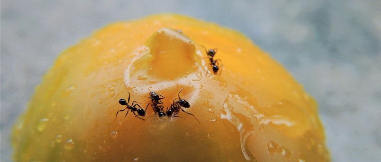 落ちたトマトに群がるアリ