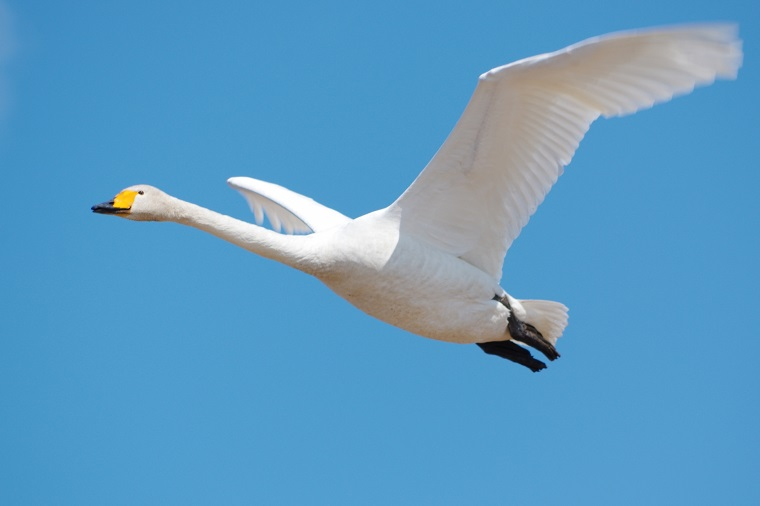 白鳥飛び立つ