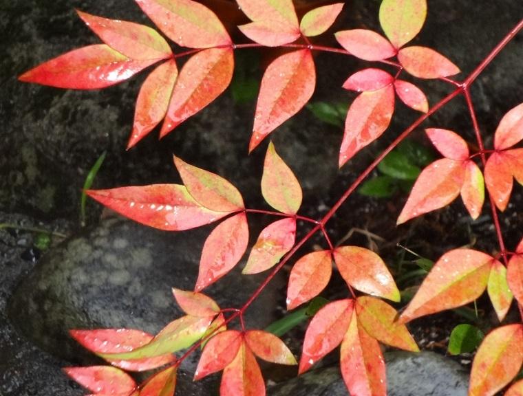秋のナンテンの葉