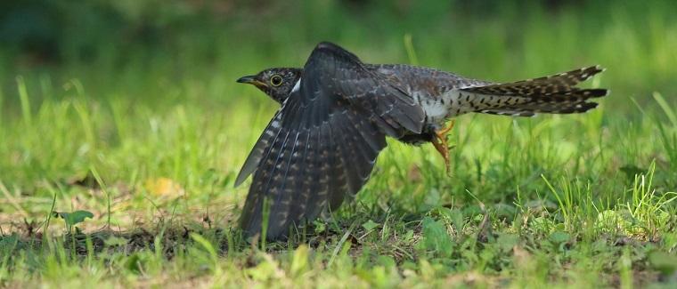 飛んでいるカッコウ