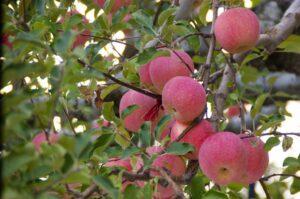 エチレンの多いリンゴ