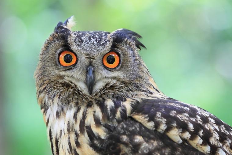 フクロウの変な顔