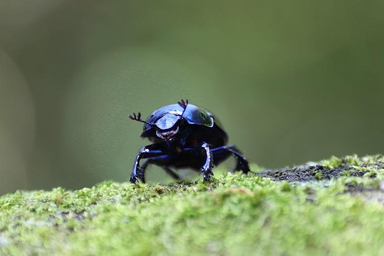 フンコロガシ昆虫