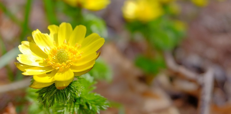 初春の花 福寿草