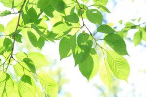 緑の葉っぱ