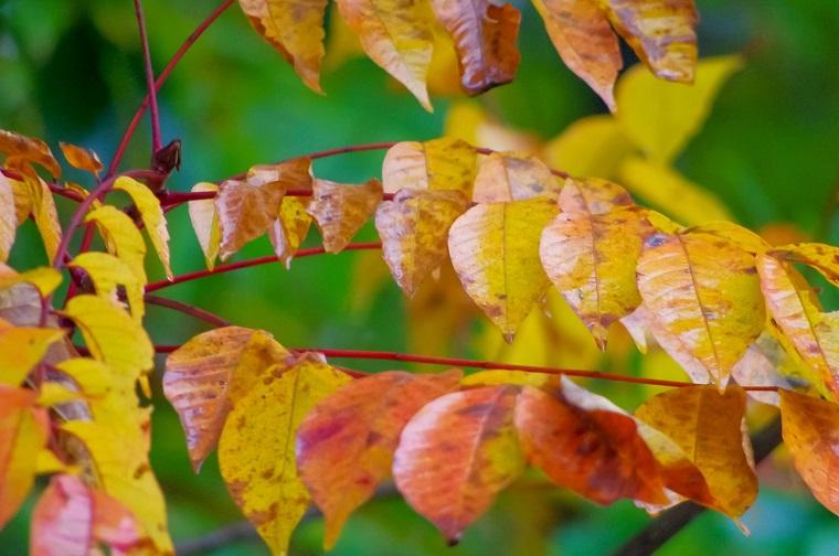 落葉樹の葉っぱ
