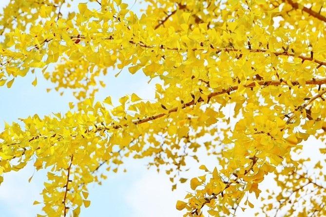 黄葉したイチョウ2