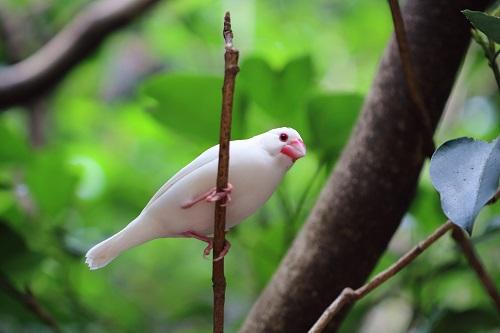 白いブンチョウ