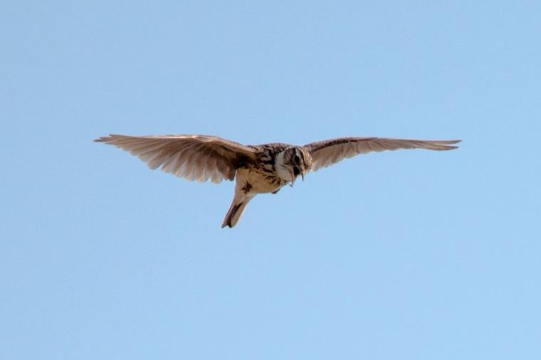 飛んでいるヒバリ