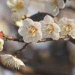 オーソドックスな梅の花