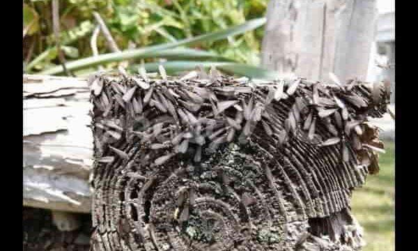 シロアリと朽木 (1)