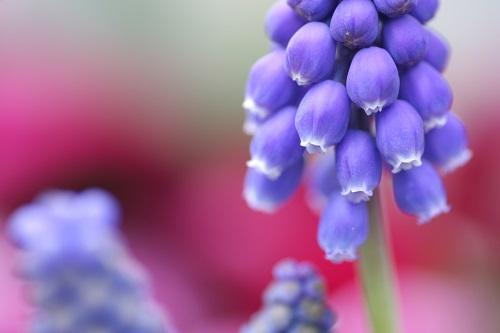 ムスカリの花の接写