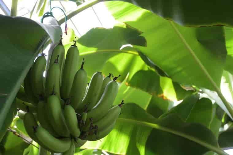 実ったバナナ