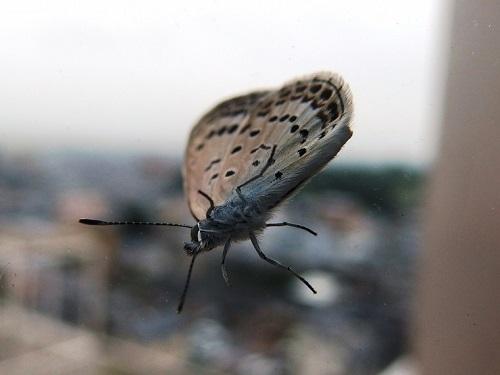 ゴマシジミチョウの幼虫は怖い
