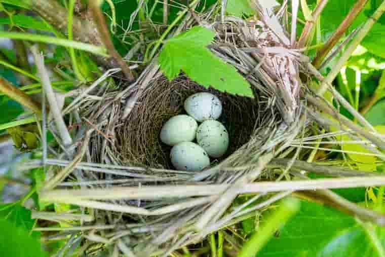 野鳥の巣と卵
