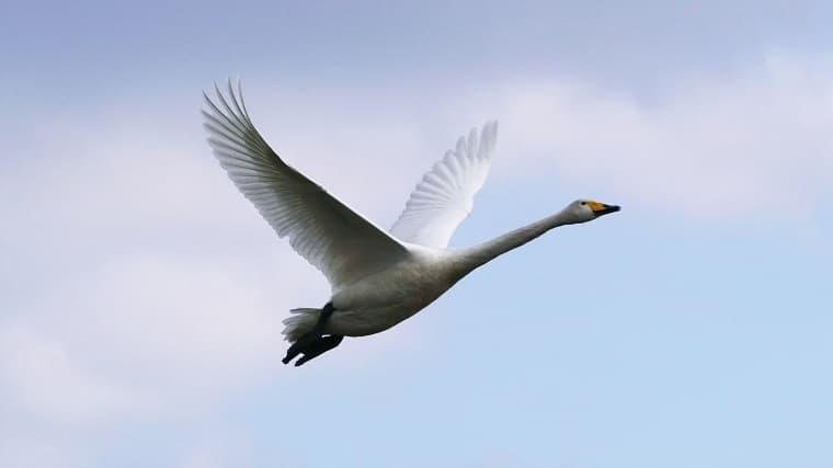 飛んでいる白鳥