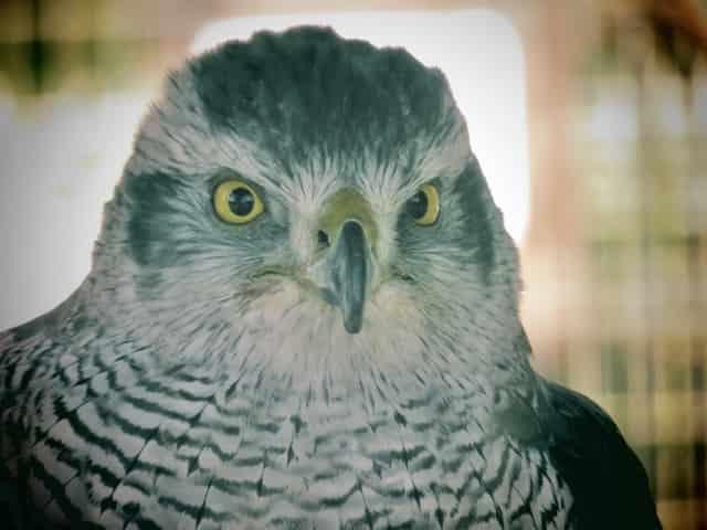 猛禽類の目
