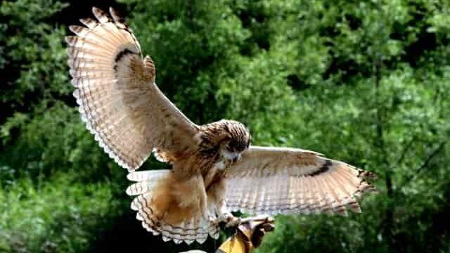 羽を広げたフクロウ
