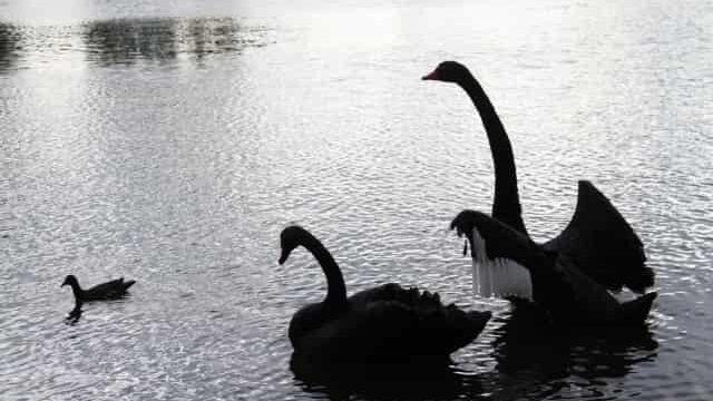黒鳥の家族