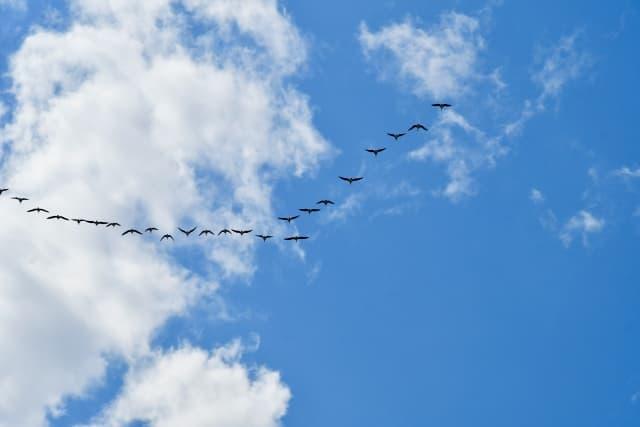 渡り鳥の編隊飛行