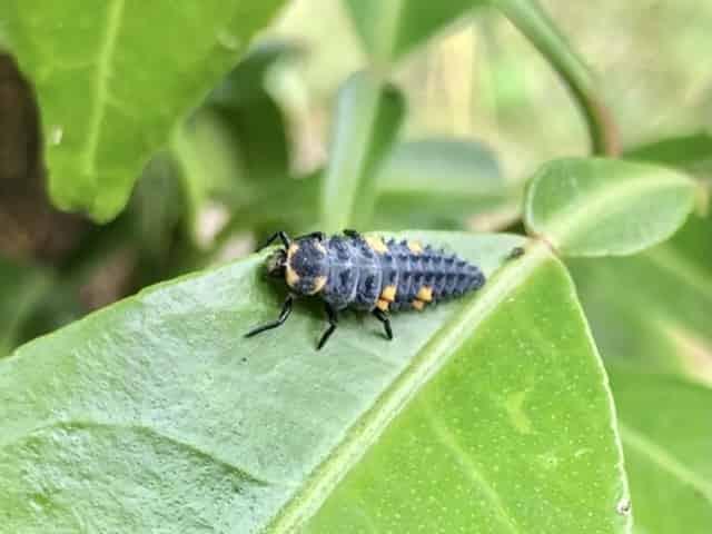テントウムシの幼虫