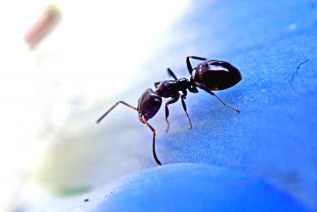 花びらの上を歩くアリ
