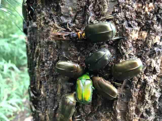樹液に群がる昆虫