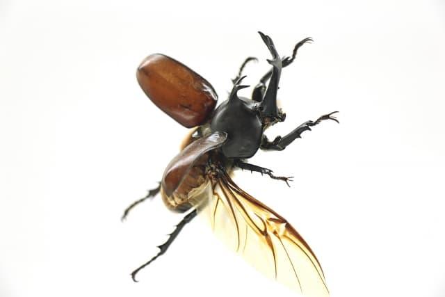飛ぶカブトムシ